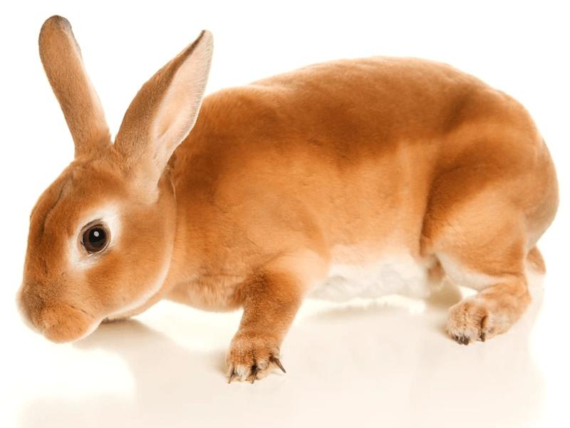 Razas de conejos enanos y características. Conejo Rex