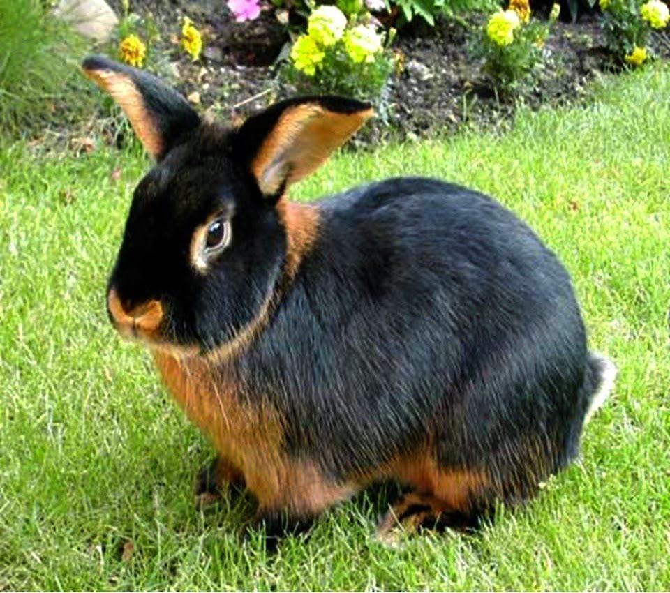 Razas de conejos enanos,  Conejo Tan