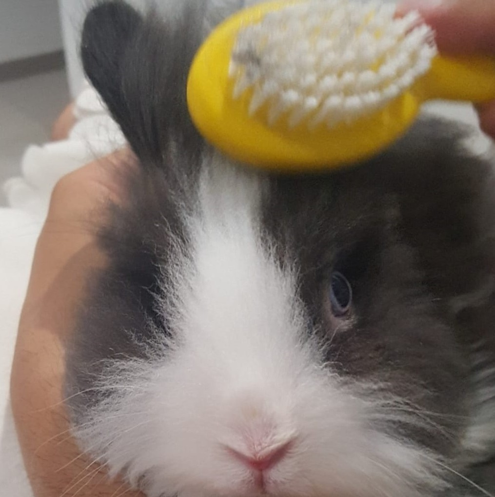 Cepillando a conejo cabeza de león