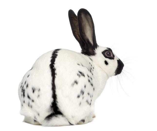 Conejo Mariposa. conejo blanco con manchas negras. También llamado english spot