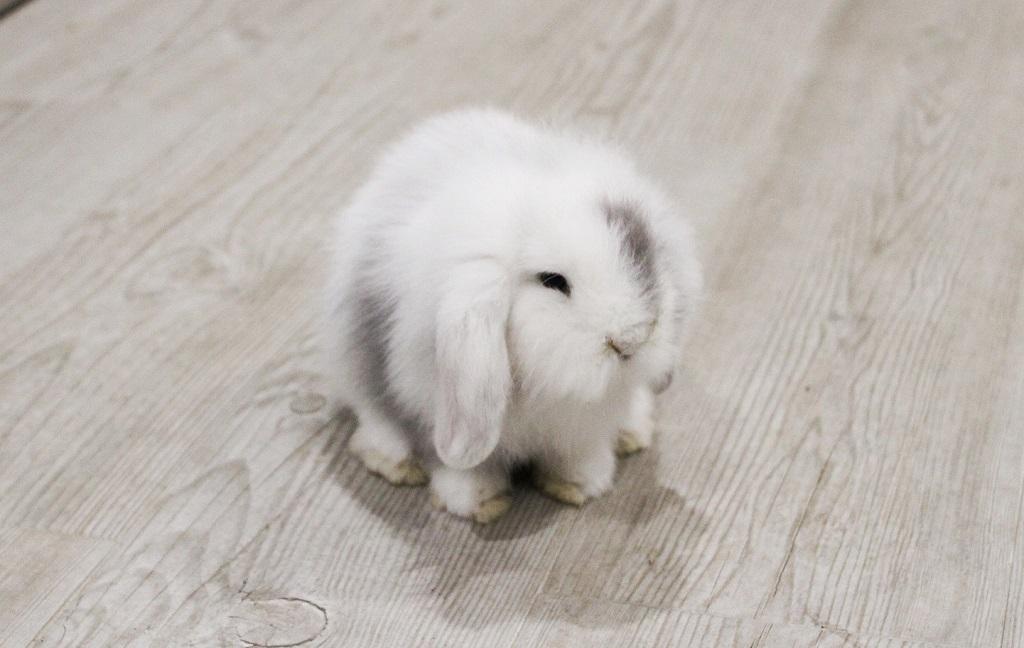 Grey, mi pequeño conejo enano blanco y gris de raza Belier