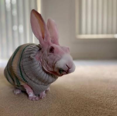 Mr. Bigglesworth conejo sin pelo - Razas de conejos
