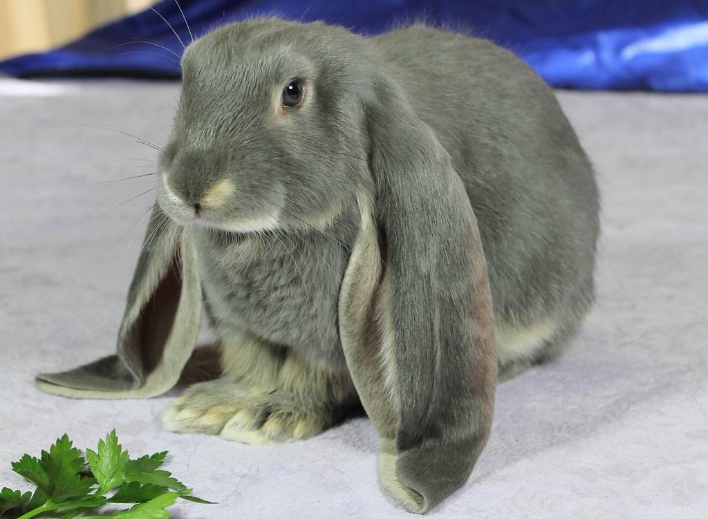 Conejo Belier Inglés gris el conejo con las orejas más largas