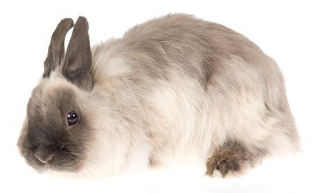 Raza de conejo Jersey Wooly