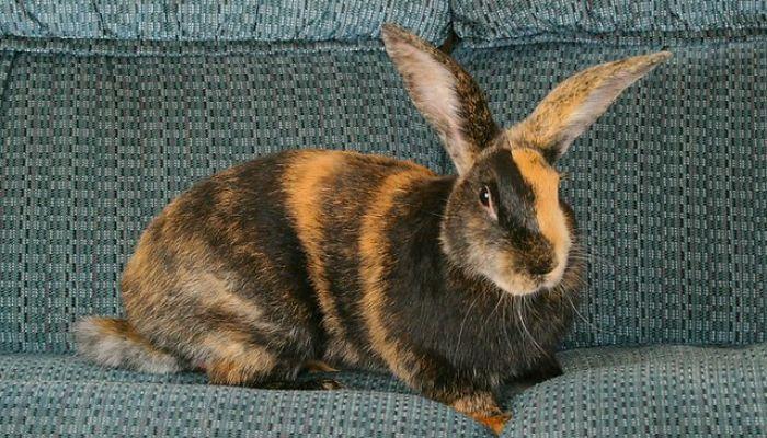 Conejo enano de raza Arlequin