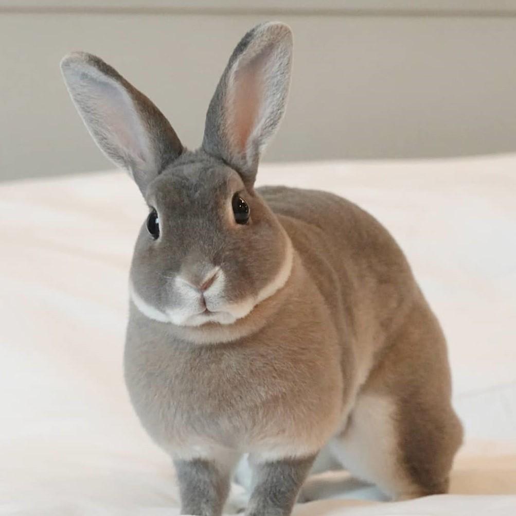 Conejo enano de color gris
