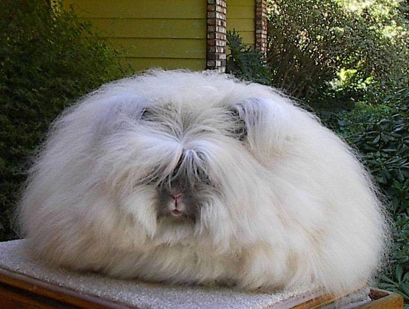 conejo angora inglés blanco y gris