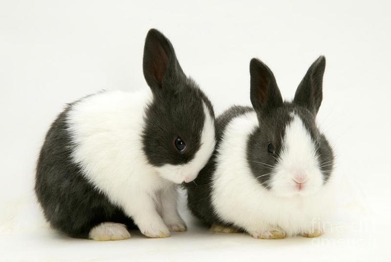 Conejo Holandes - Adorables conejos dutchs