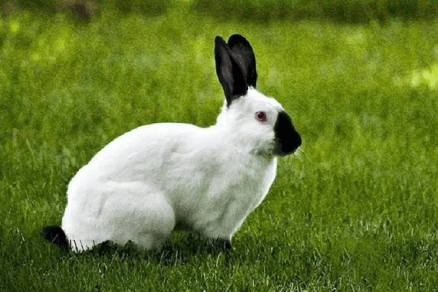 El conejo californiano - Razas de conejos populares