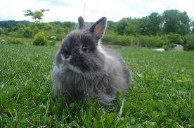 Raza de conejo - Jersey wooly gris