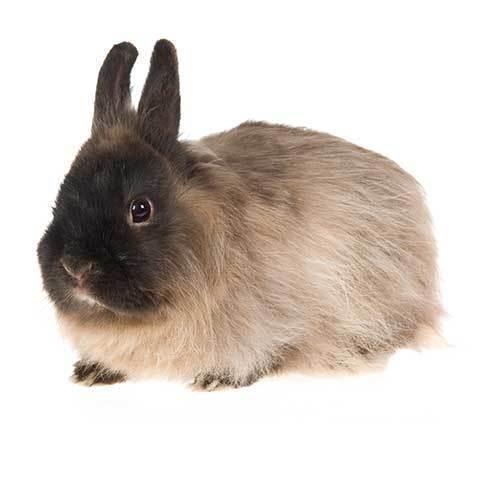 Jersey wooly marrón - tipos de conejos