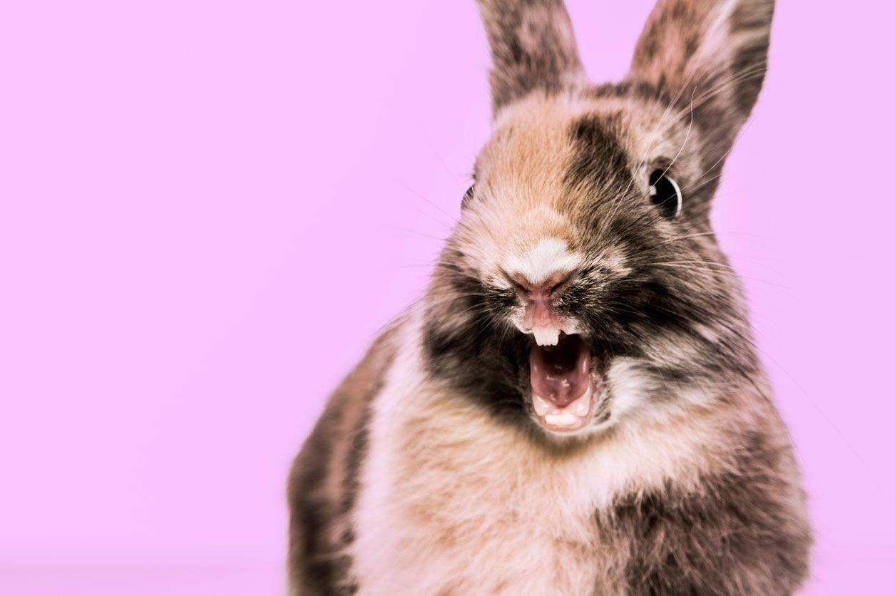 Dientes de un conejo - Cuidados