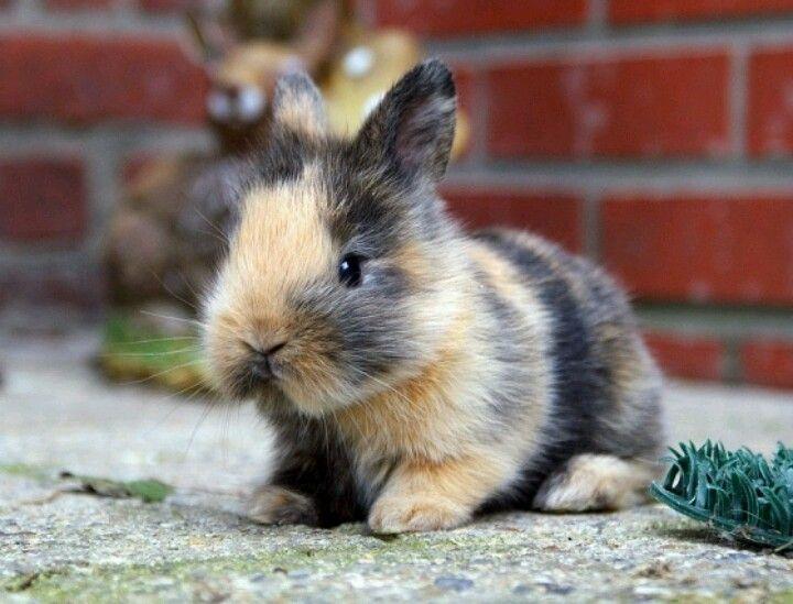 Conejo Arlequin marron y negro de bebe