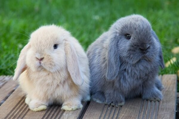 Razas de conejos que tienen las orejas caídas - Conejo beige y gris