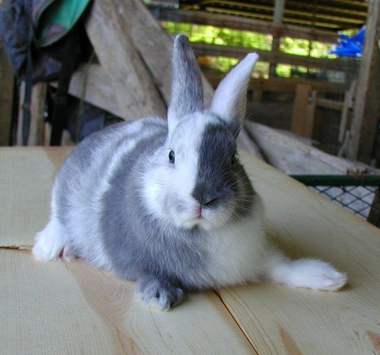 Conejo blanco y negro de raza arlequin