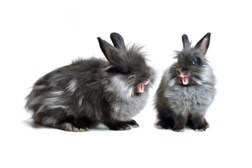 Como actuar si tu conejo te muerde - conejo agresivo
